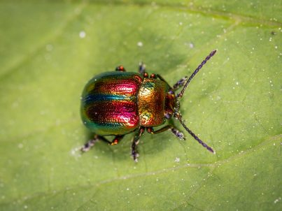 Cover beetle1