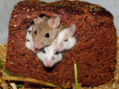 Mice in bread