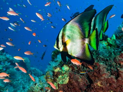 "Some Dusky Batfish Platax pinnatus and a lot of mostly female Sea Goldies Pseudanthias squamipinnis. Platax pinnatus occurs in Western Pacific in a depth range from 12-30m , max. length 45cm. Some juvenile Moonwrasses Thalassoma lunare and a Bignose Unicornfish Naso vlamingii. East of Komodo Island, Indonesia, 8°30'58"" S 119°37'58"" E at 13m depth"